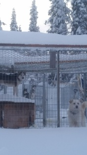 Hej! All eyes on the visitors, and which dogs are chosen for the sleds